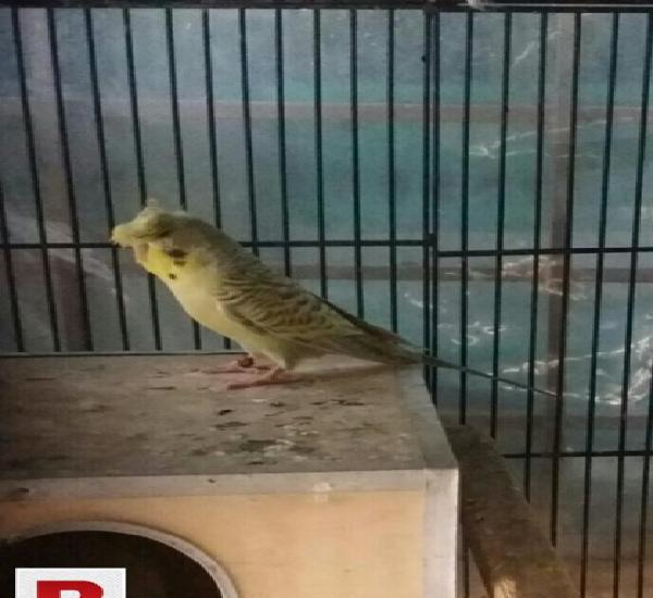 King size red eyes crested Male For sale 0