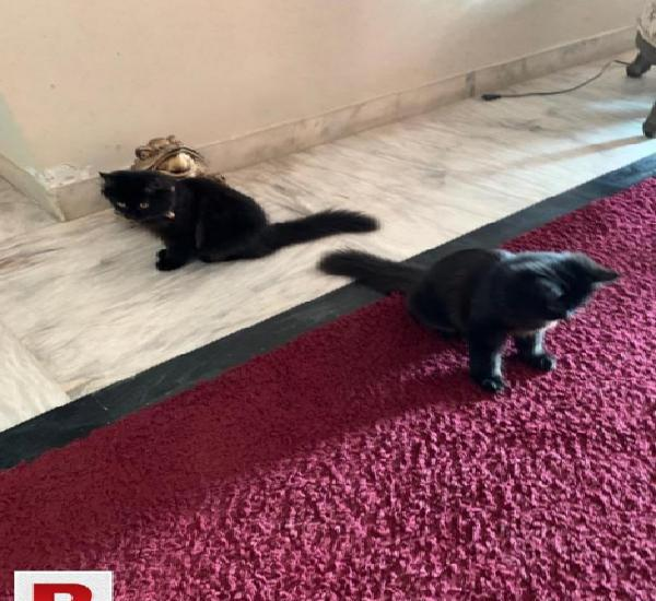 Persian Cats PAir For Sell 0