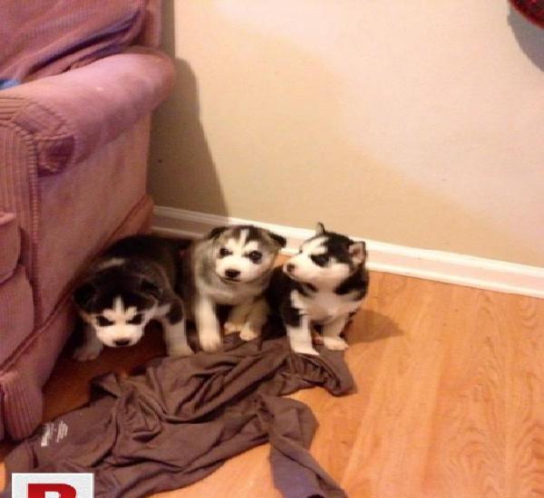 3 siberian husky puppies for free adoption