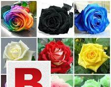 Heirloom blooming rose seeds