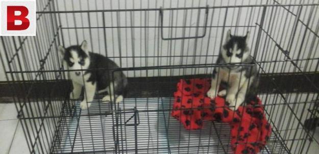 Husky puppies fir sale