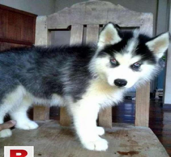 Siberian husky puppies now available in your own city