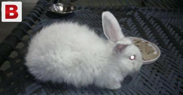 Angora rabbit male gray color. for change