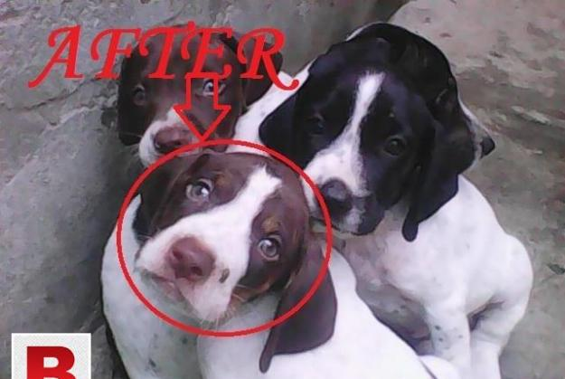 English pointer dog pupies it is a very active and healty
