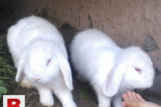 Giant loop rabbit available