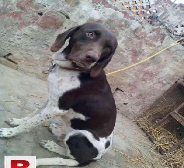 Pointer dog (nonpedigre)
