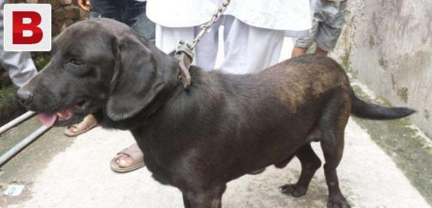 Pointer dog black in colour