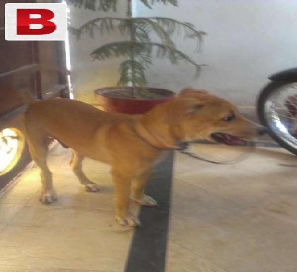 Pointer dog cross gultair mother pointer male healthy and