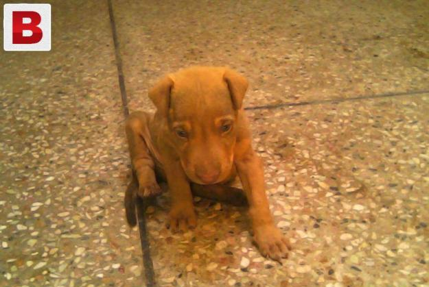 Pointer dog pupy age 1 month in rs: 15000