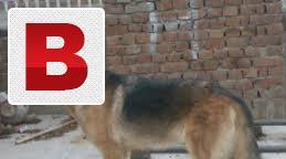 Puppies & breeder dogs 4 sale pit bull labrador rottweiler
