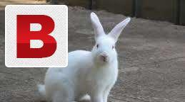 Rabbits breeder pair red eye white colour