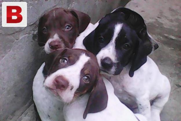 English pointer dog pupies