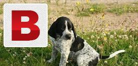 English pointer dog pupies it is a very chaep price