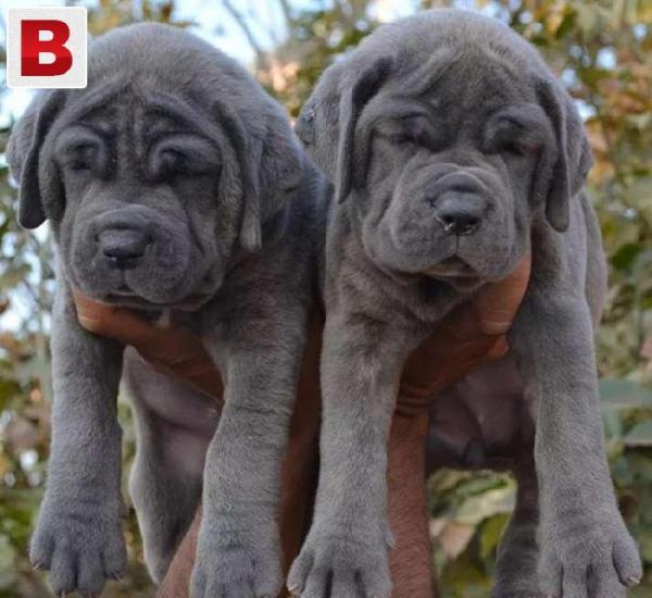 350pedigree neapolitan mastiff puppies