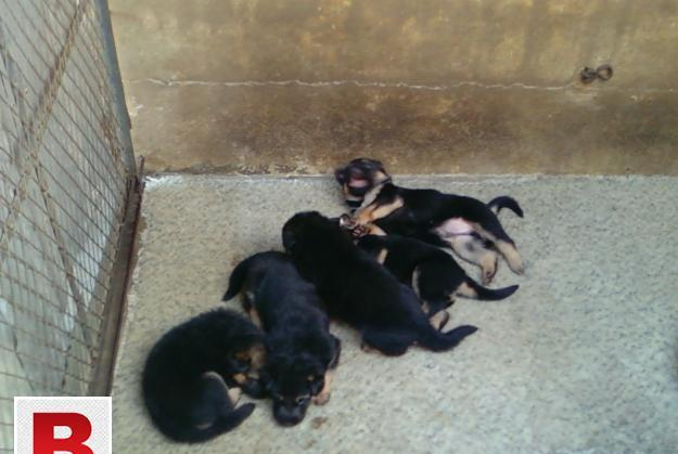 All kind of english and local puppies