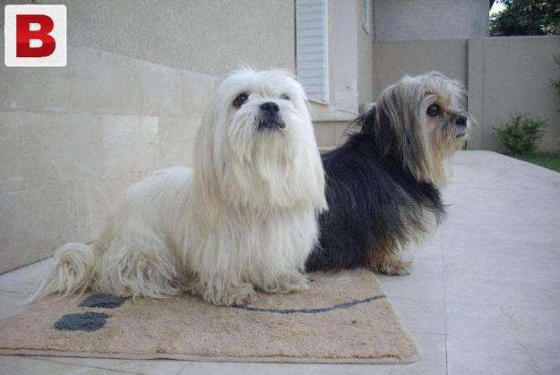 Australian-terrier-pair-urgnt-sale-