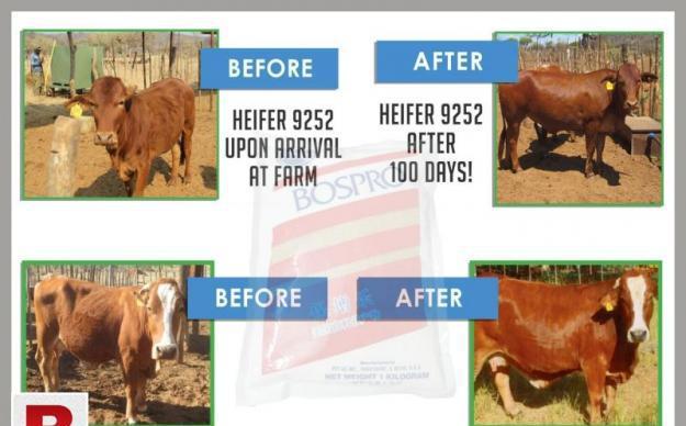 Buffalo cow 【 ADS July 】 | Clasf