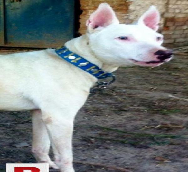 Bull terrier or gultair male