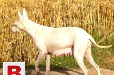 Bull terrier puppies gultaria or gultair