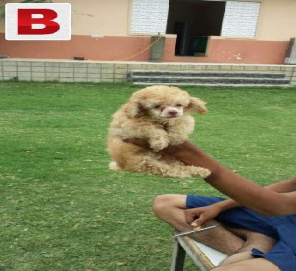 Cutest poodle pup