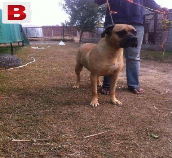 English mastiff young imported pair available