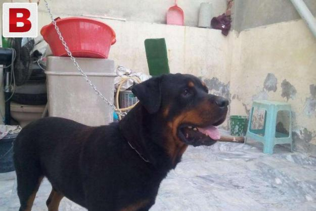German imported highly pedigree rottwieler for stud
