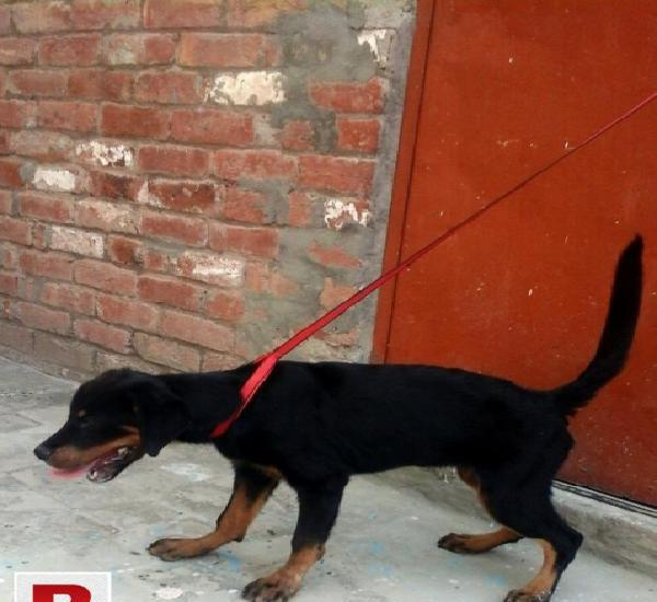 German shapred and rottweiler puppy for sale both r females