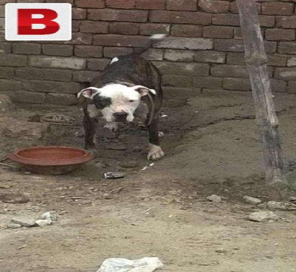 Haappy news for pitbull lover n fancier all around the world