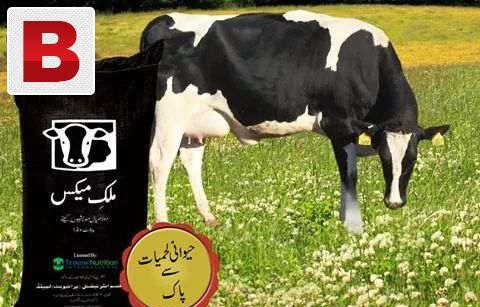 Milk max feed dhood brane k liye animals ko khilaen 40kg,