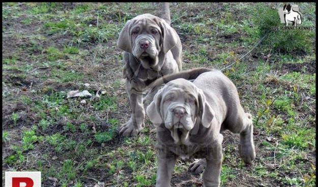 Neapolitan mastiff puppies for sale   rpk
