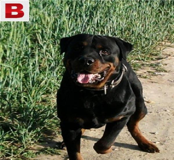 Pedigreed rottweiler available for stud services