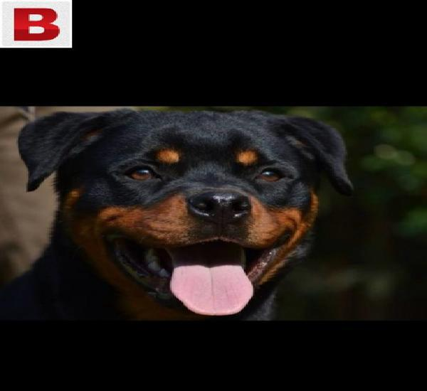 Pedigreed young rottweiler female for same
