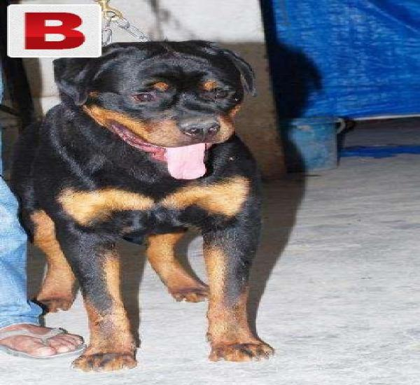 Rott adult male (strong bone structure)