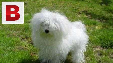 Two puppies available toy breed maltese