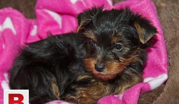 Yorkshire puppies male and female for sale