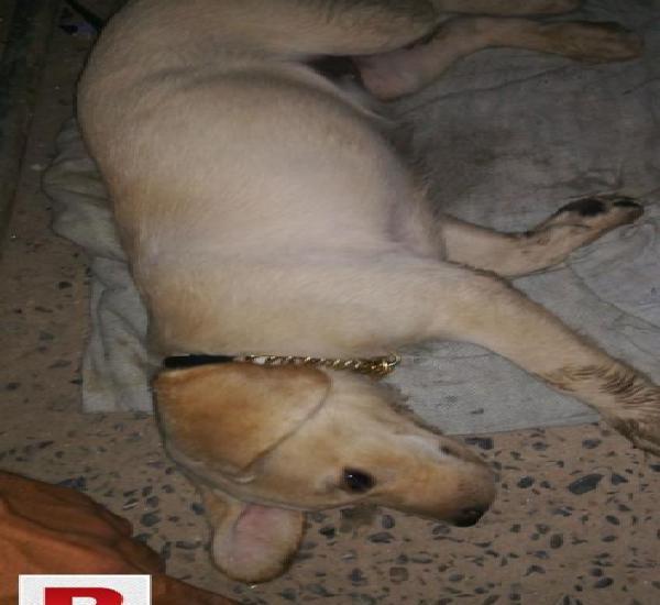 Labrador in reasonable price