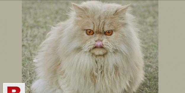 Persian cat with cheap price