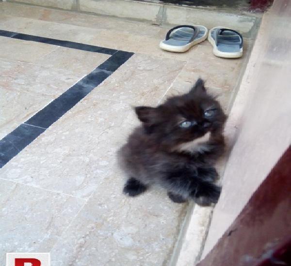 Persian punch face kitten