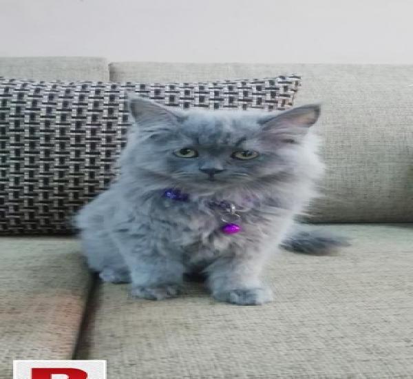 Persian punch face triple coat cat