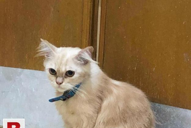 Semi punch persian cats available