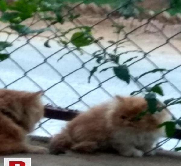 Persian extreme punch kitten nd adult both female.
