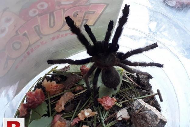 Black Tarantula spider for sale.