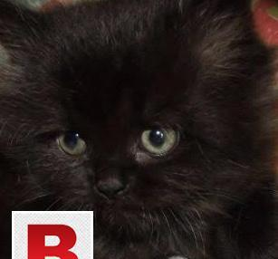 Loving persian kitten