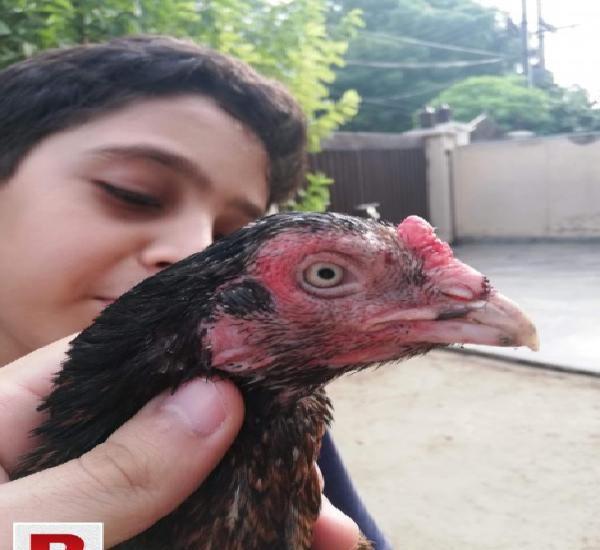 Mianwali zero size shijri maadi for sale