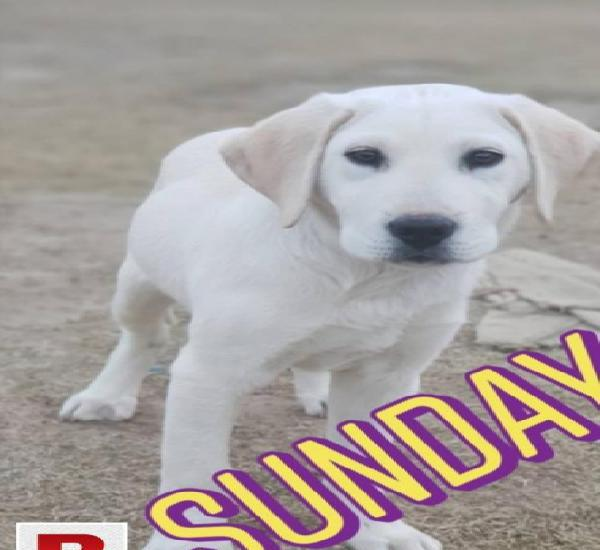 Labrador white colour 【 ADS August 】 | Clasf