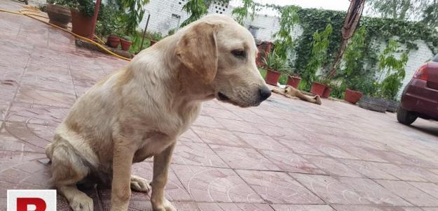 British labrador pup