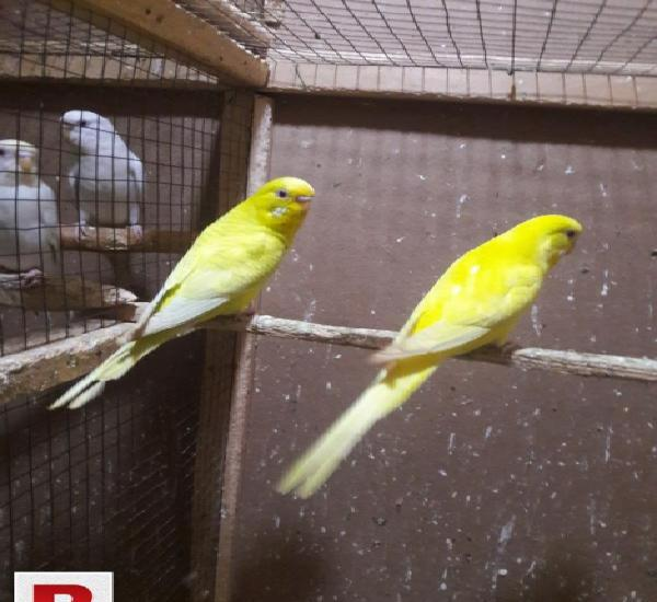 Fellow red eyes for sale fallow budgies