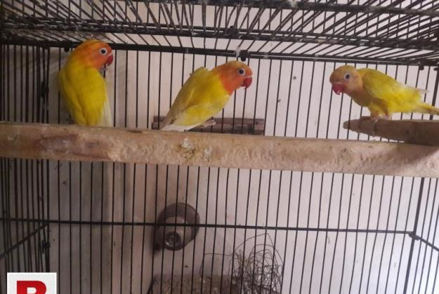 Lutino Personata Split Pathy for sale Latino Love Birds