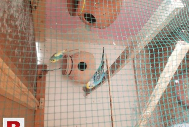 Budgies or new cage 1 week use and big size cage all stup i