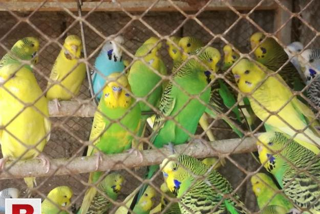 Exhibition budgies colony 4 sale in rwp
